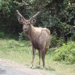 ELK @ Horton Plains National Park