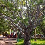 These wonderful trees are everywhere in the plaza.