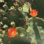 This was in the botanical garden. Prickly pear with blooms.