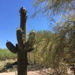 Blooming Saguaro in the botanical garden!