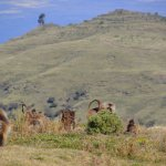 The gelada baboons