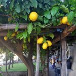 Lemons growing on the terrace