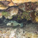 hello, little trunk fish