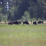 Bison from a distance