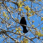 Red Winged Black Bird at our campsite