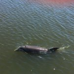 Dolphins were so curious and even came up close to the pontoon