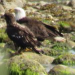 Eagles at Parksville
