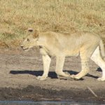 Lioness at the water hole