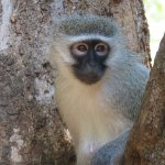 a vervet monkey (keep your room window closed while you're out or they sneak in and wreak havoc)