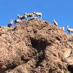 Mountain Goats seen on the way to Cool Springs from Oatman