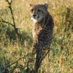 We say four Cheetahs!