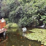 Entrance pond including koi and black swans