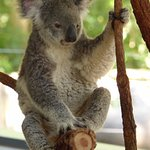 Photo of Lone Pine Koala Sanctuary