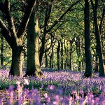 Bluebell forest at Springwood Lodges