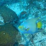 scuba queen angelfish