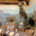 Big horn sheep, Colorado's state mammal