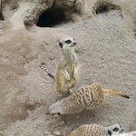 The cute meerkats!