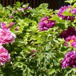 Peony Flowers1