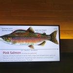Pink Salmon Exhibit, Bonneville Lock & Dam, Columbia River Gorge