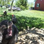 Turkey & Chickens will follow you, but are not for petting; tables for picnic in the background