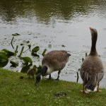 Geese with their young