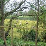 Sheep for company