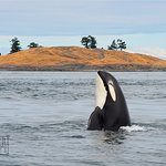 Southern Resident Orca makes an appearance at Lonesome Cove