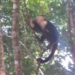capuchin monkey eating lunch