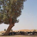 Un tamaris abrite les chèvres de la chaleur.