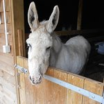 'FROSTY' THE DONKEY, NORTH HAYNE FARM.
