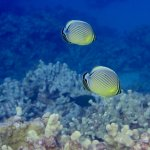 Pair of Oval Butterflyfish