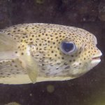 Giant Porcupinefish