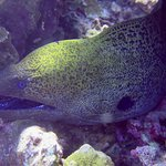 Java or Giant Moray Eel