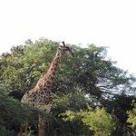 Giraffe in lush bush