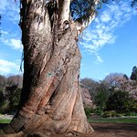 old tree in the Botanical Garden