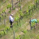 Working the vineyards by hand at Casa Emma
