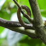 Eyelash Pit Viper spotted early on
