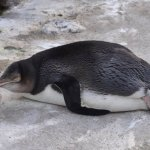 An injured penguin in the penguin hospital