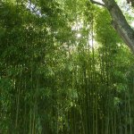 Bamboo forest by the pond