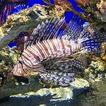 Scorpion or Lion Fish
