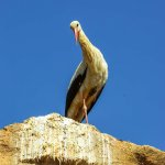An individual stork watches all the tourists in Chella