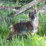 Willow one of the Soay lambs. Rare breed primitive sheep used for conservation grazing on the la