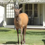 Elk wandered into the courtyard in front of our cabin.