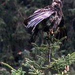 A juvenile eagle.