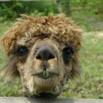 One of the two alpacas