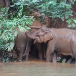 Elephants mudding and bathing themselves at EVP.