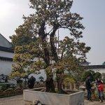 400yr old Bonsai tree
