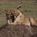 Big cats of Masai mara