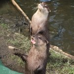 Otters...is it time for lunch?