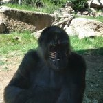 not in a hurry gorilla